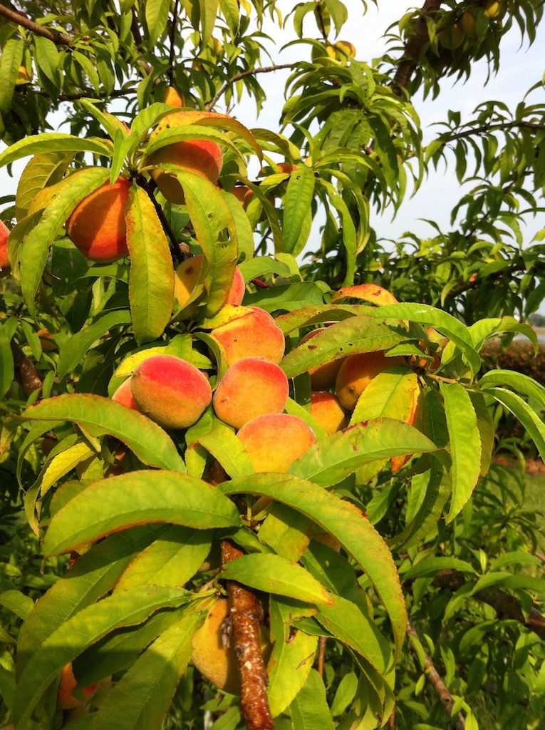 Peaches in May, not quite ready.