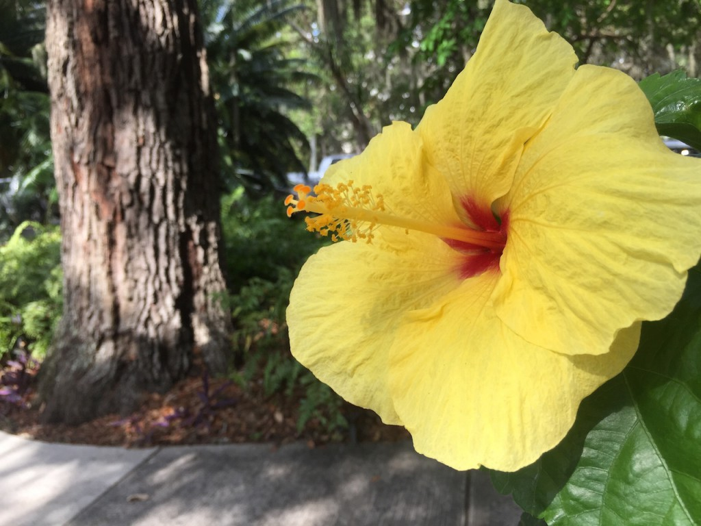 A sunny hibiscus